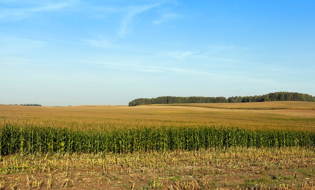 Field with immature corn, part of which was mown to feed animals on the farm