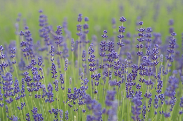 Field with lavender flowers
