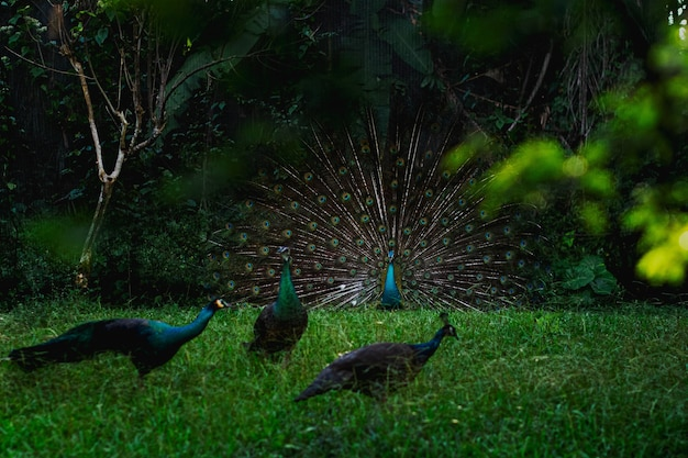 Campo con peafowls su di esso circondato da alberi ed erba sotto la luce del sole