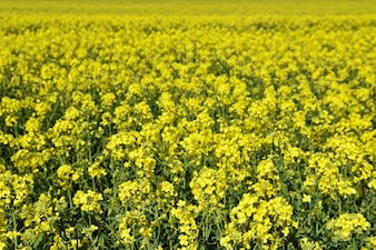 Field with rape (Brassica napus) (Brassica napus)