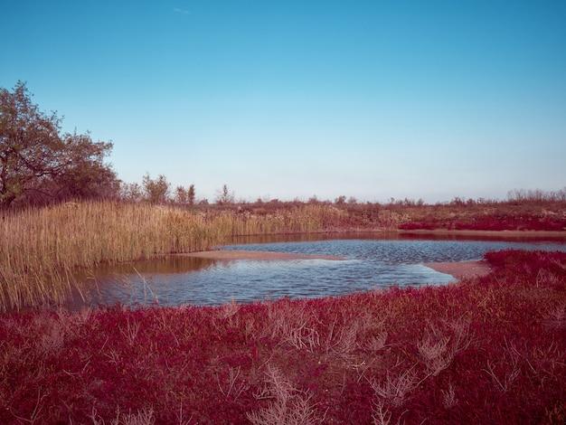 赤いsalicorniaeuropaのある畑。ウクライナ、オデッサ地域。