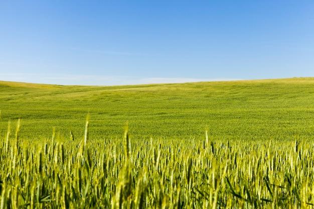 ライ麦の畑