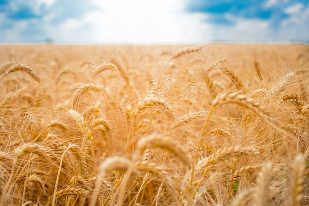 Field with spikelets of wheat and blue sky