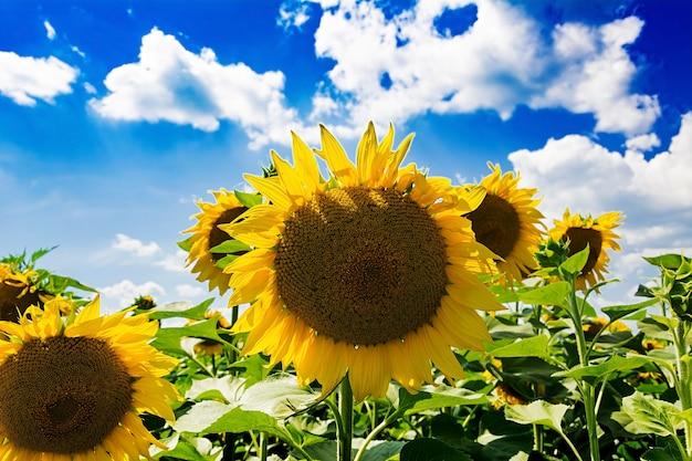Поле с подсолнухами против голубого неба. красивый пейзаж