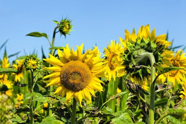 夏のひまわり畑、晴天の開花中のひまわり畑、クローズアップ