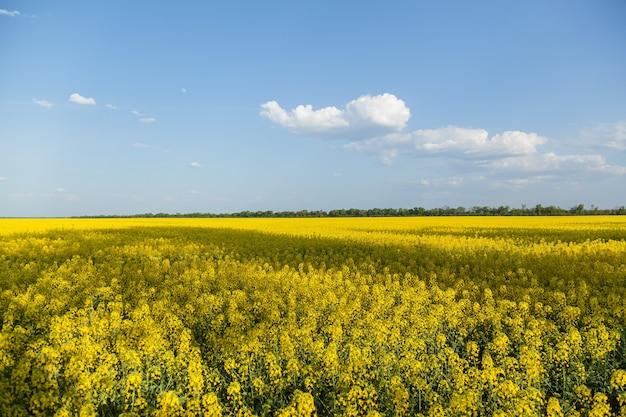 유채의 노란 꽃이 핀 들판