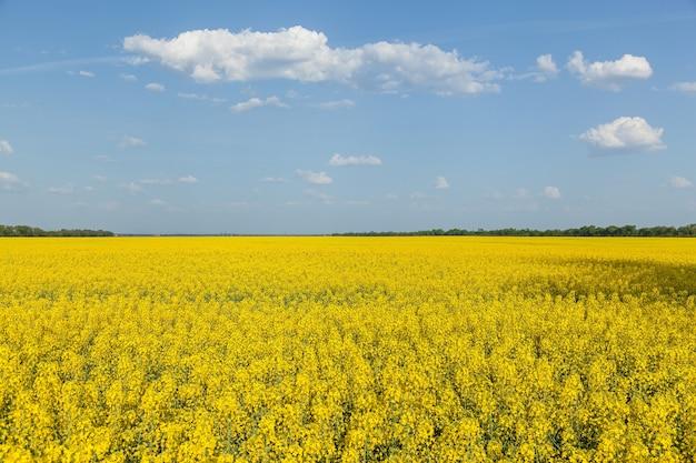 유채의 노란 꽃이 피는 들판