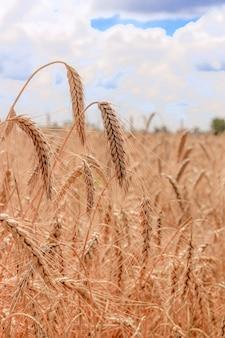 Field with wheat ears .