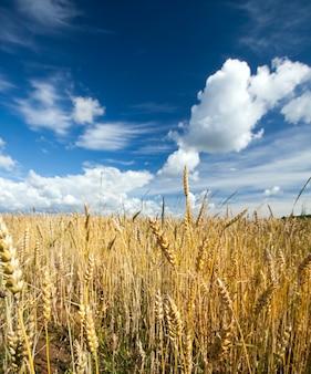 Поле с пшеницей, спелой к концу лета и урожая, крупным планом на фоне голубого неба с облаками