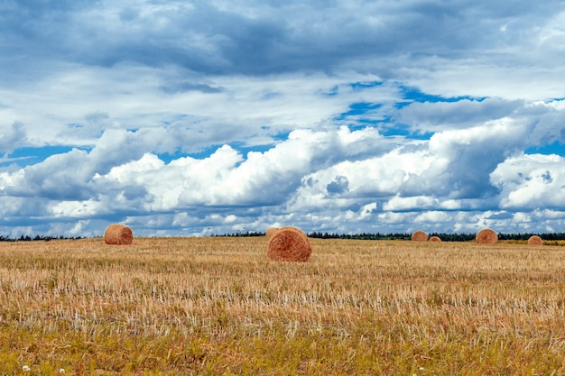 Field with wheat and stacks against the blue sky with clouds on a summer day