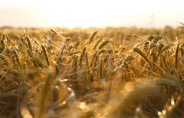 The field with wheat on sunset