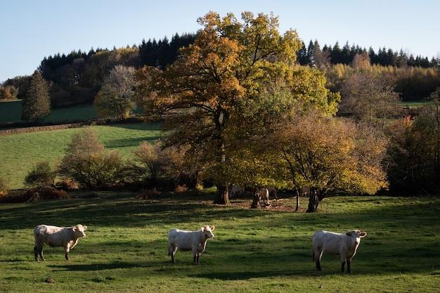 Поле с белыми коровами в бургундии, франция