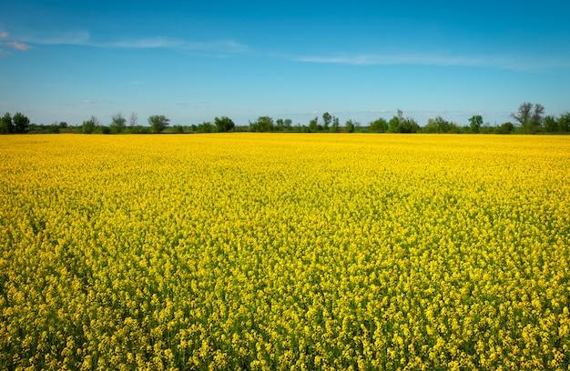 開花中に黄色の菜種のフィールド