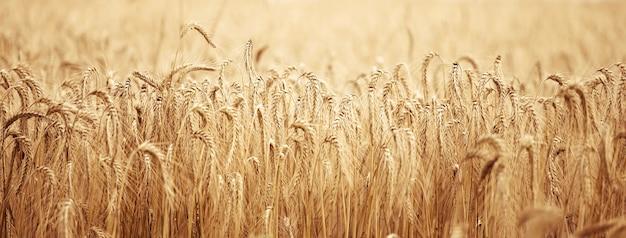 여름날 노란색 익은 밀이 있는 들판. 좋은 수확, 클로즈업