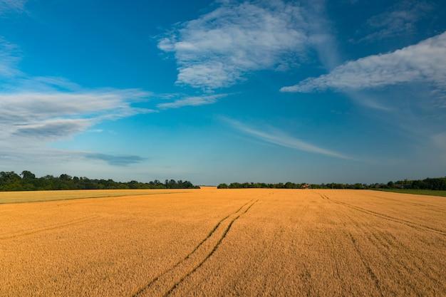 Поле с желтой созревающей великолепной пшеницей на фоне голубого неба с фермерским домом рядом с лесом ...