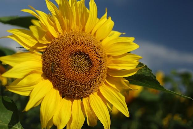 Поле с желтыми подсолнухами летом