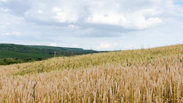 밀과 푸른 언덕, 곡물 작물, 농업의 어린 이삭이 있는 들판