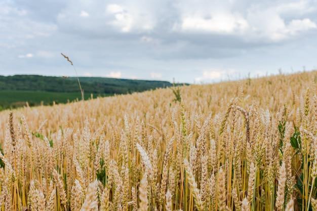 小麦と緑の丘、穀物の若い耳のある畑