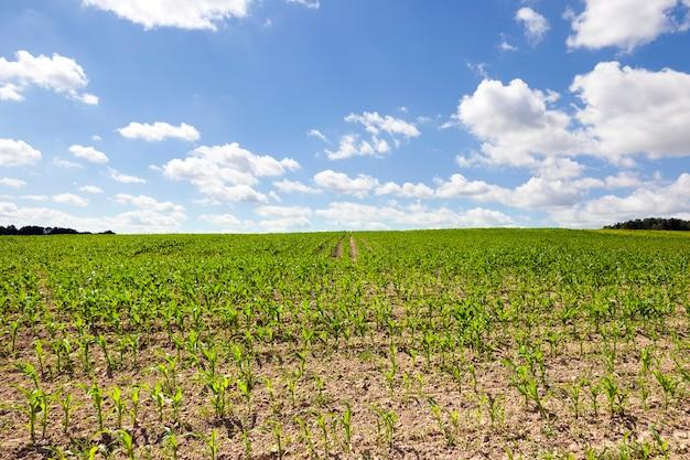 春のシーズンに撮影された若いグリーンコーンのある畑。