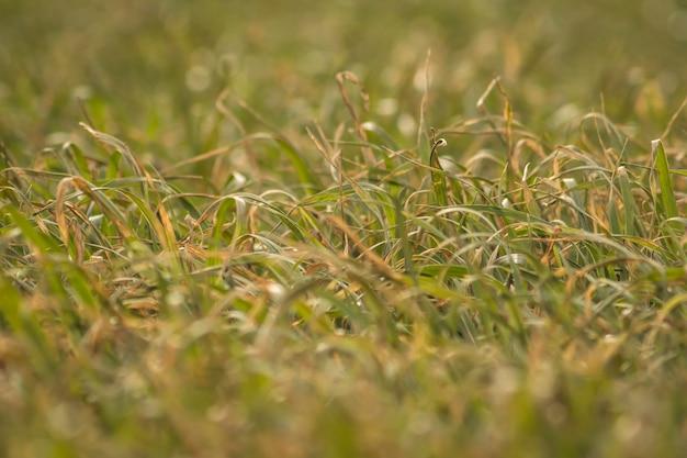 若い小麦とフィールド上の霧のフィールド