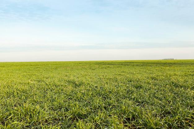 Поле с молодой пшеницей сфотографировано крупным планом зеленых ростков пшеницы в начале их роста в весенний сезон сельскохозяйственных полей