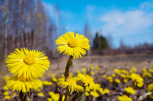A field of yellow bright small flowers.