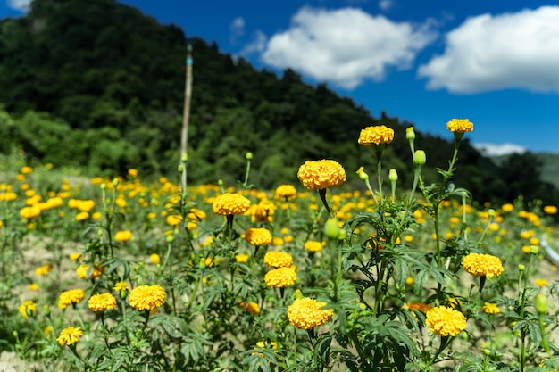 Field of yellow carnations
