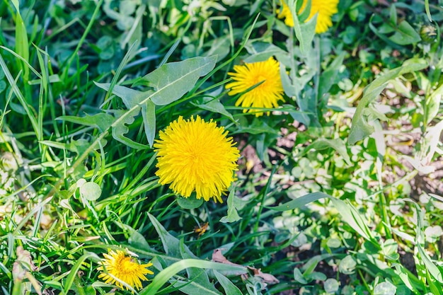 Field of yellow dandelions and green grass in sunlight. nature background. spring concept. close up, selective focus