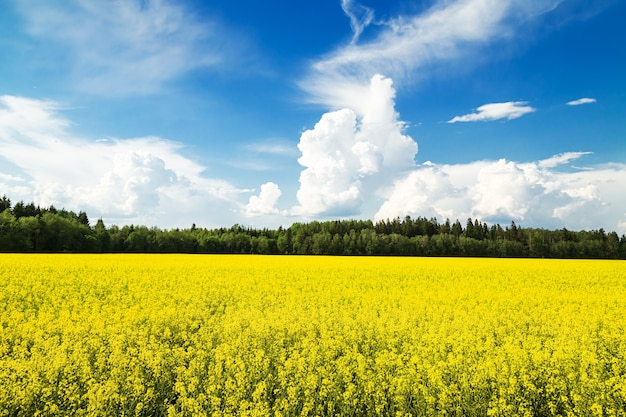 Field of yellow flowers and blue sky. bright sunny summer day. idyllic landscape.