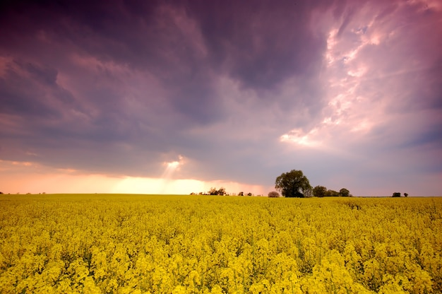 Field of yellow flowers with clouds