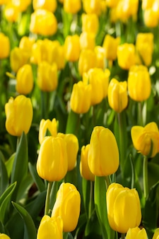 Field of yellow tulips in spring day. colorful tulips flowers in spring blooming blossom garden.