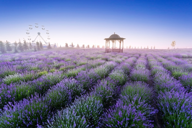Field of young blooming lavender at dawn. against the background of blue sky.