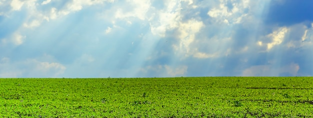 A field of young soybeans against a stormy sky with rays of the sun