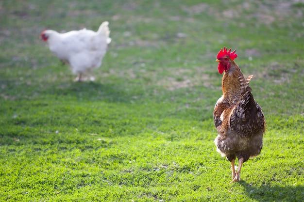Выращенная здоровая белая курица и большой коричневый петух питаясь свежей первой зеленой травой снаружи весной field на яркий солнечный день. курица, здоровое мясо и яйца концепция производства.