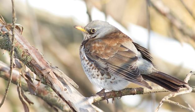 Fieldfare, closeup portrait sitting on a branch