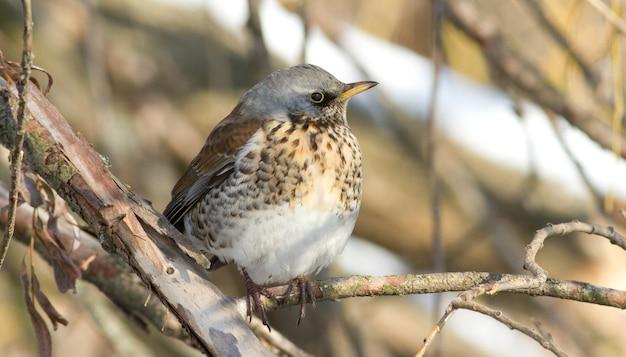 Fieldfare sits on a branch on a frosty sunny day