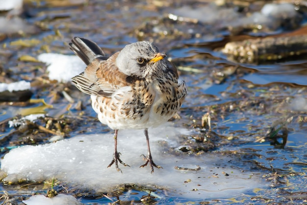 Fieldfare sits on a snowy islet in a small river