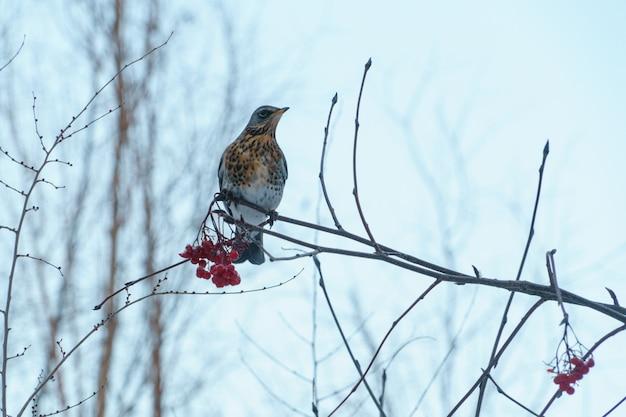 Fieldfare sitting on a branch with red rowan in winter
