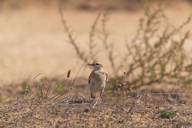 地面に座っているノハラツグミ。野生動物の鳥