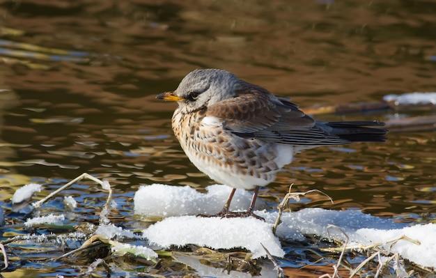 Fieldfare turdus pilaris a bird sits on a snowy islet in a small river