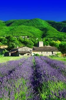 Поля цветущих цветов лаванды в провансе, сельский пейзаж франции