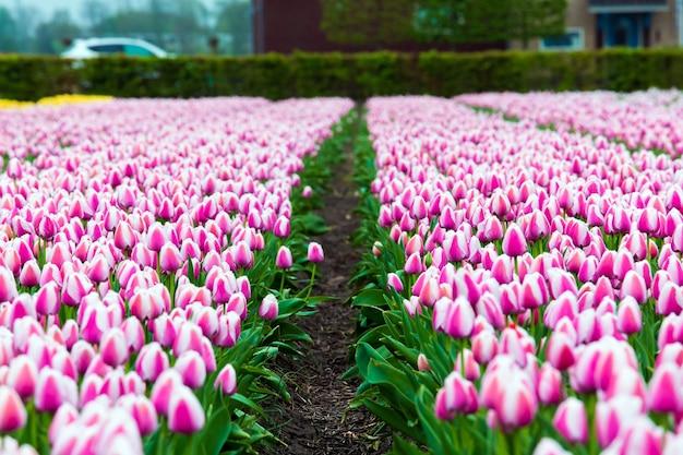 オランダ、アムステルダム近郊のキューケンホフ公園のピンク色のチューリップ畑