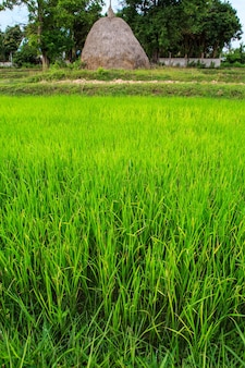 Fields and rice seedlings