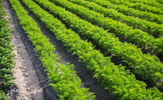 Fields rows of carrots growing vegetables in a farm field agroindustry organic agriculture