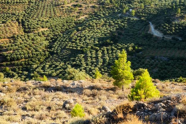 Поля с плантациями оливковых деревьев в горах