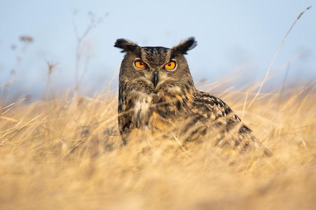 Fierce european eagle owl looking into camera