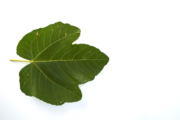 Fig leaf on a white background