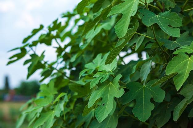 イチジクの葉は日の出時に自然の細部の詳細を残します