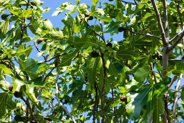 青い空を背景に果物とイチジクの木。