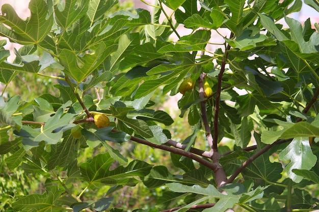 Fig tree with green figs in sunny day.